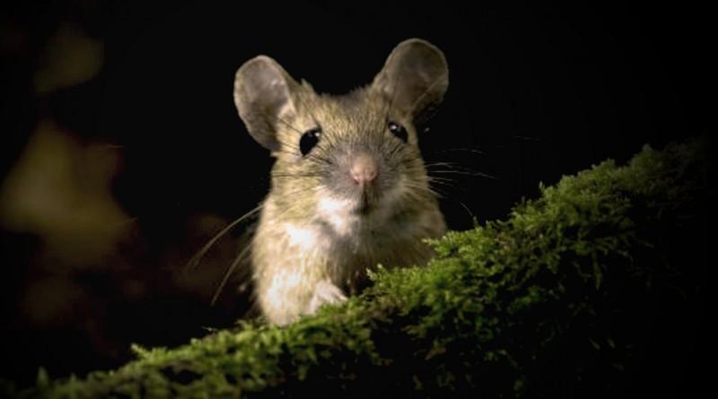 梦见老鼠是什么意思?梦见老鼠代表什么?梦见被老鼠咬好不好?